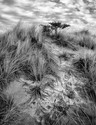 Dune Grass with Tree  2017
