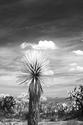 Ethereal Yucca (Infra-red)  2012
