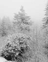 Snowstorm in the Redwoods   2008