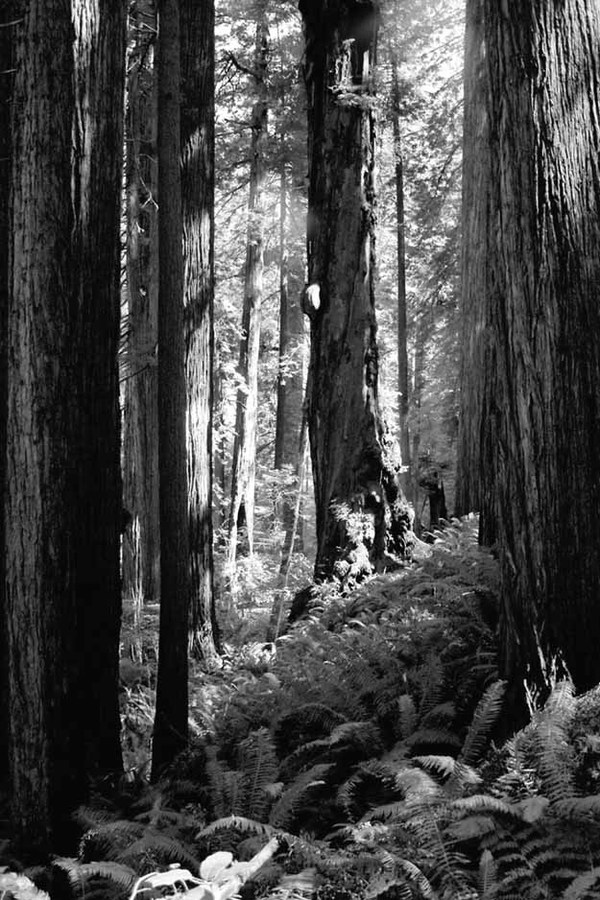 Redwoods & Ferns #3   2005
