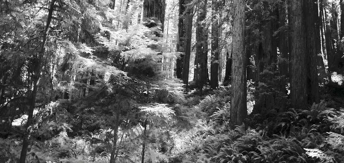 Redwoods & Ferns  #1   2005