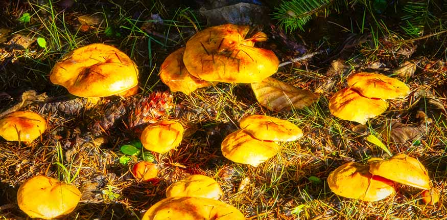 Golden Mushrooms   2015